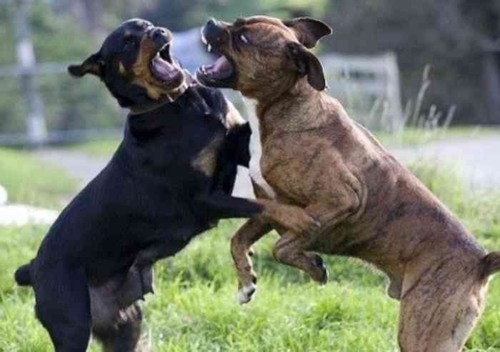 Molossi si azzuffano a Mutina Boica, ferito il proprietario di uno dei due cani