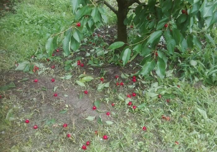 Maltempo, danni alle ciliegie