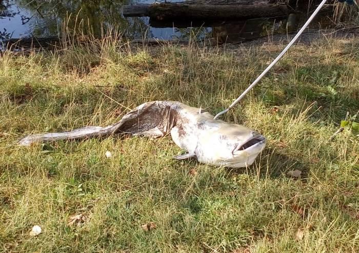 Siluro di due metri morto per il caldo nel laghetto del parco Ferrari