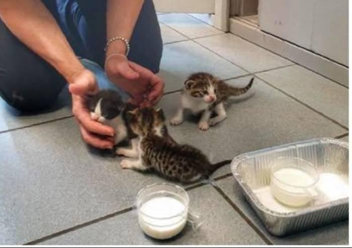 Gattini soccorsi dalla polizia municipale e affidati a 'balie'
