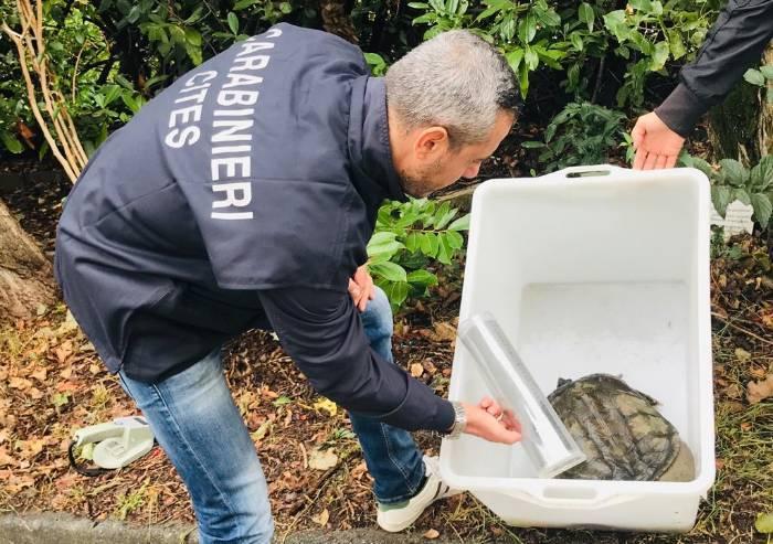 Tartaruga azzannatrice abbandonata, salvata dai Carabinieri