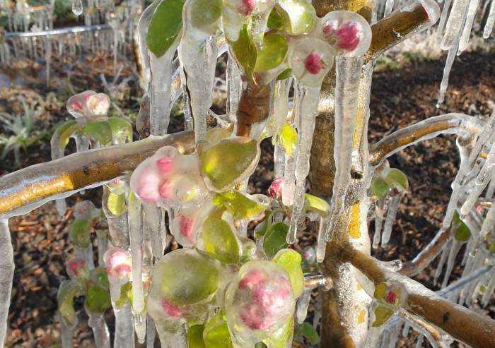 Gelo, compromessa la produzione di ciliegie