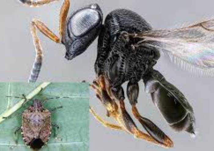 Via libera alla vespa Samurai, nemico naturale della cimice asiatica