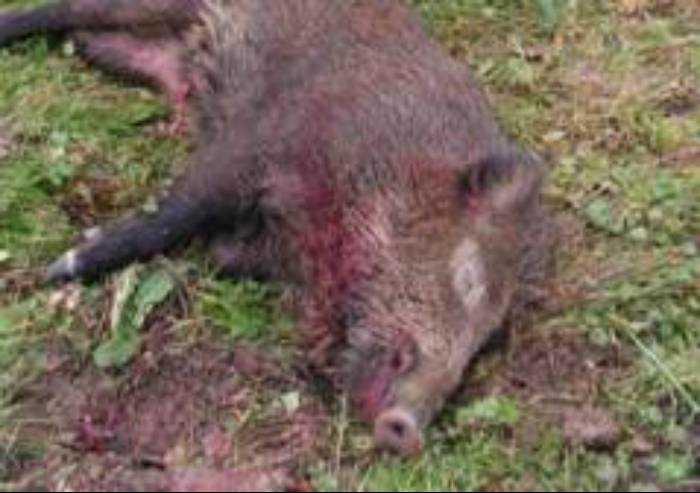 L'Emilia-Romagna apre la caccia al cinghiale
