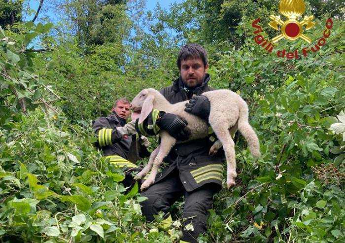 Ha paura dei cani e scappa, agnellino recuperato dai Vigili del Fuoco
