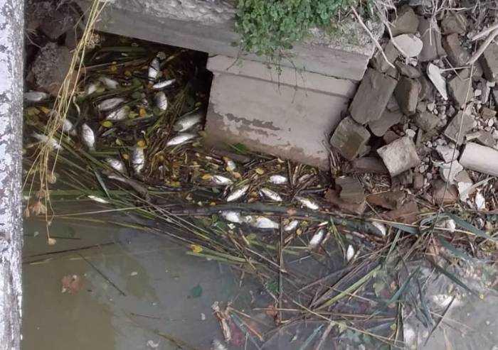 Finale Emilia, moria di pesci nel canale Vallicella