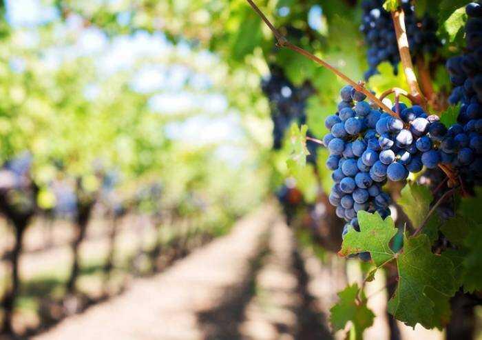 Gelo e siccità: In Emilia-Romagna calo nella produzione di uve del 20-30%