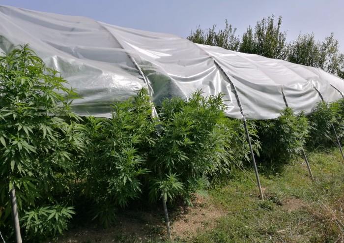 Una serra di Marijuana nel giardino: in arresto cuoco di Nonantola